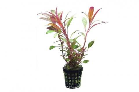 Photo of Alternanthera Cardinalis aquarium plant