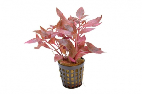 Photo of Alternanthera Cardinalis Variegata aquarium plant