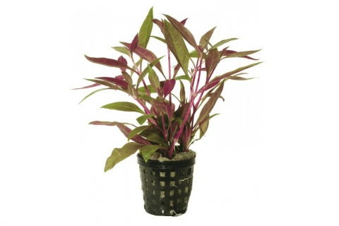 Photo of Alternanthera Rosaefolia aquarium plant