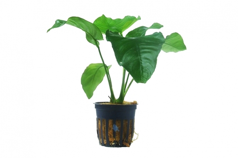 Photo of Anubias barteri var barteri aquarium plant