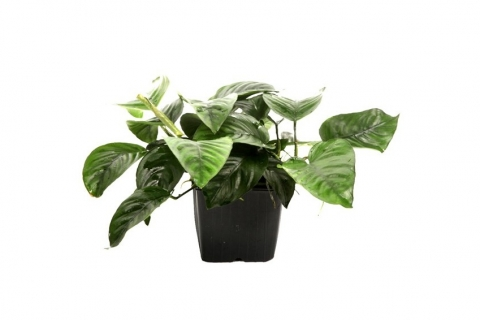 Photo of Anubias Barteri var Caladiifolia aquarium plant