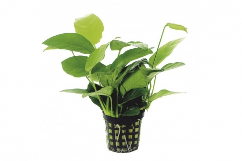 Photo of Anubias Barteri var Nana