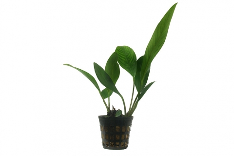 Photo of Anubias Congensis aquarium plant