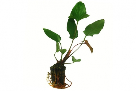 Photo of Anubias Hastifolia aquarium plant