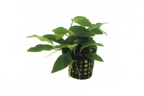 Photo of Anubias Barteri var Nana 'Bonsai' aquarium plant