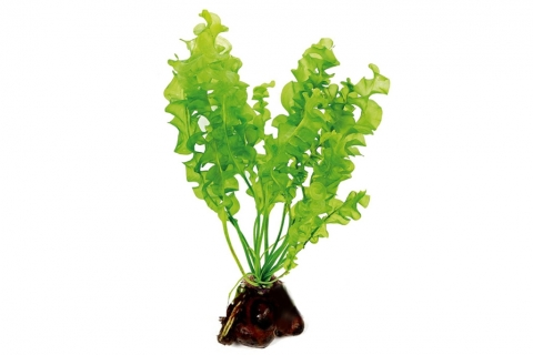 Photo of Aponogeton Ulvaceus aquarium plant