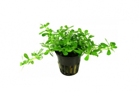 Photo of Bacopa Compacta aquarium plant