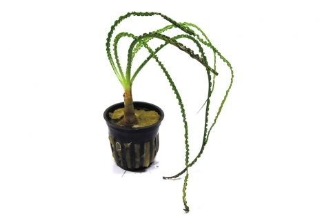 Photo of Crinum Calamistratum aquarium plant