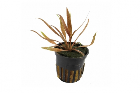 Photo of Cryptocoryne 'Albida Brown' aquarium plant