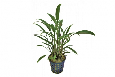 Photo of Cryptocoryne 'Amicorum' aquarium plant