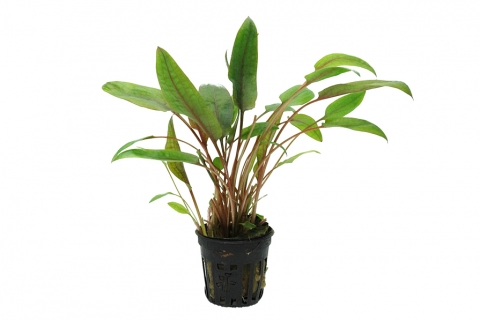 Photo of Cryptocoryne Beckettii aquarium plant