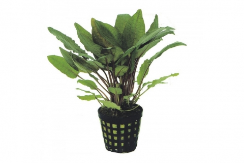 Photo of Cryptocoryne Bullosa auqarium plant