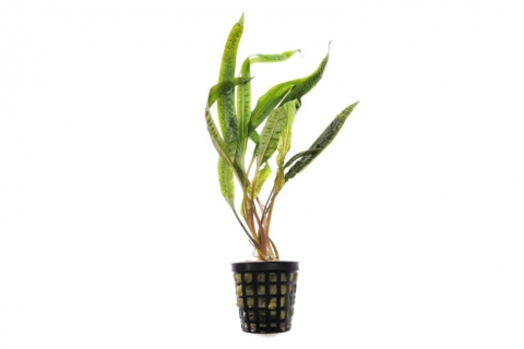 Photo of Cryptocoryne Crispatula var Balansae aquarium plant
