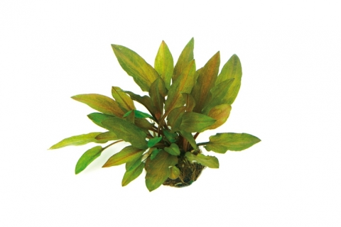 Photo of Cryptocoryne Legroi aquarium plant