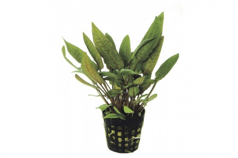 Photo of Cryptocoryne Moehlmannii aquarium plant