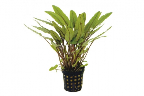 Photo of Cryptocoryne Petchii aquarium plant