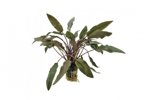 Photo of Cryptocoryne Undulatus 'Brown' aquarium plant