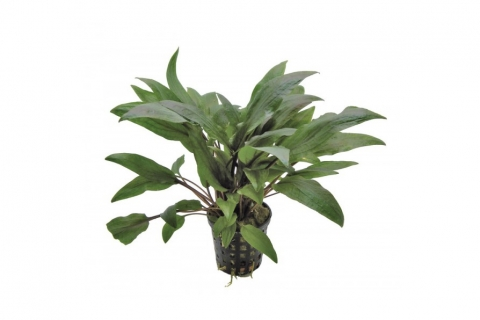 Photo of Cryptocoryne Undulatus 'Kasselman' aquarium plant