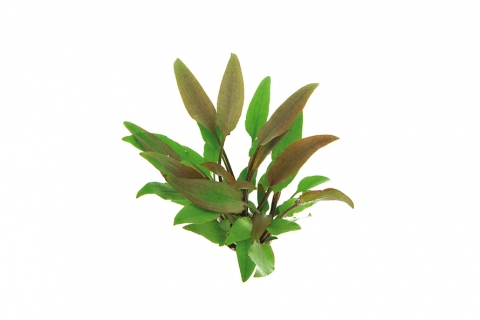 Photo of Cryptocoryne Walkeri aquarium plant