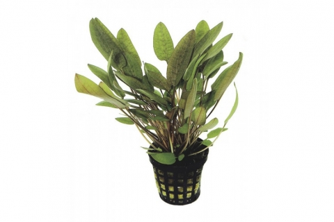Photo of Cryptocoryne Wendtii 'Green' aquarium plant