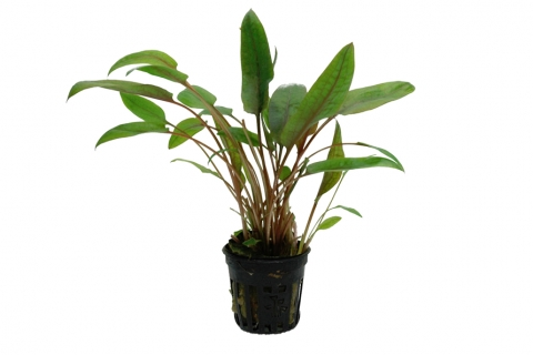 Photo of Cryptocoryne wendtii 'Mi Oya' aquarium plant