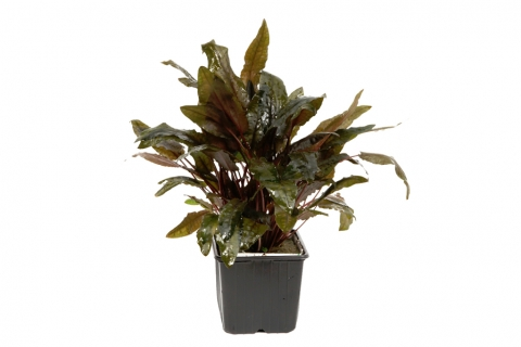 Photo of Cryptocoryne wendtii Tropica aquarium plant
