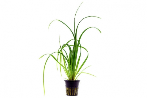 Photo of Cyperus Helferi aquarium plant