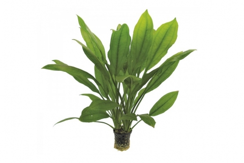 Photo of Echinodorus Bleheri (Amazon Sword) aquarium plant