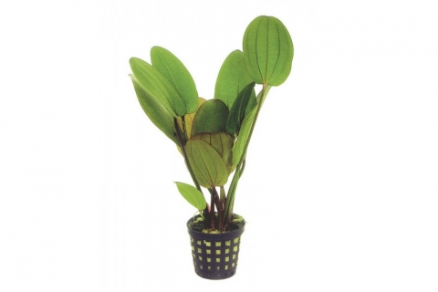 Photo of Echinodorus Compacta aquarium plant