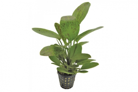 Photo of Echinodorus 'Ozelot Green' aquarium plant