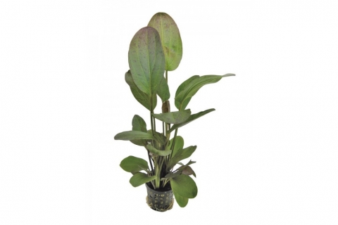 Photo of Echinodorus 'Ozelot Red' aquarium plant