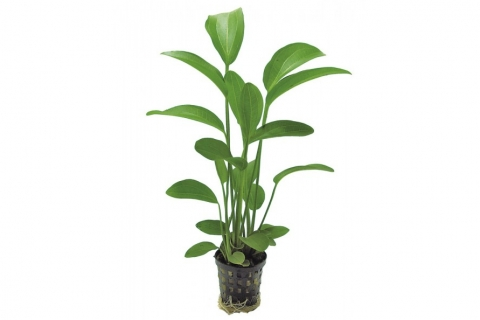 Photo of Echinodorus Radicans aquarium plant