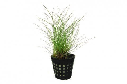 Photo of Eleocharis Sp. aquarium plant