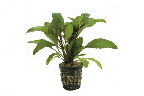 Photo of 'Hygrophila Guensis' aquarium plant