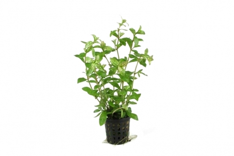 Photo of Hygrophila Rosae Australis aquarium plant