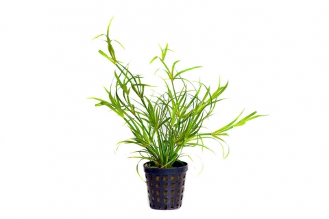 Photo of Juncus Repens aquarium plant
