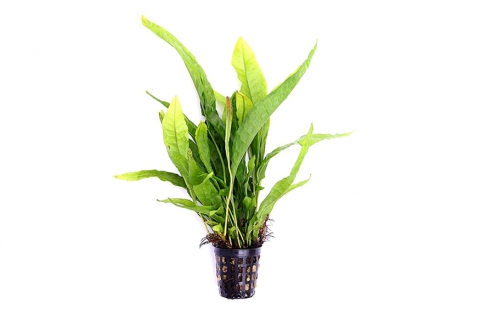 Photo of Microsorum Pteropus aquarium plant