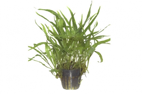 Photo of Microsorum Pteropus Narrow aquarium plant