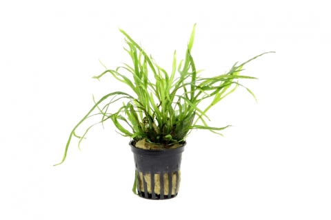 Photo of Microsorum Pteropus Trident aquarium plant