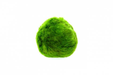 Photo of Moss Ball (Cladophora aegagropila) 2-3cm aquarium moss