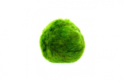 Photo of Moss Ball (Chladoflora) 3-5cm aquarium moss