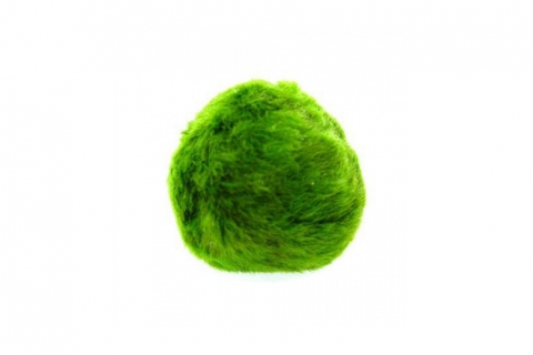 Photo of Moss Ball (Chladoflora) 5-7cm aquarium moss
