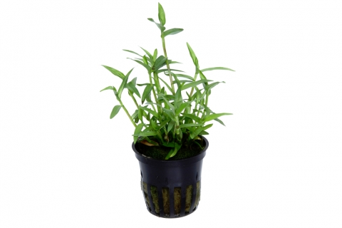 Photo of Murdannia Keisak aquarium plant