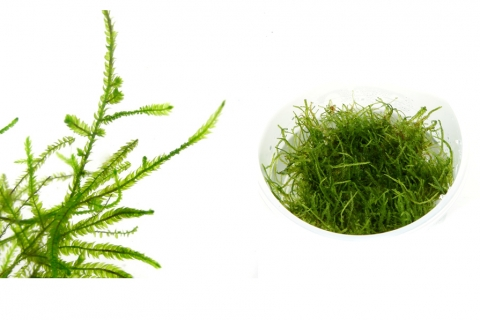 Photo of Taxiphyllum Barvieri 'Java moss' aquarium moss