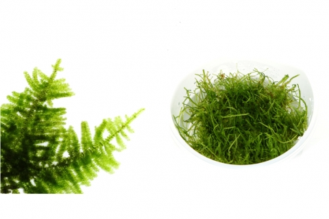 Photo of Taxiphyllum 'Spiky Moss' moss