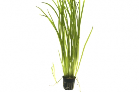 Photo of Vallisneria americana Gigantea aquarium plant