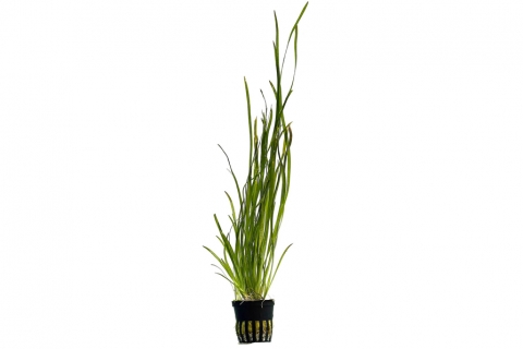 Photo of Vallisneria Spiralis 'Tiger' aquarium plant