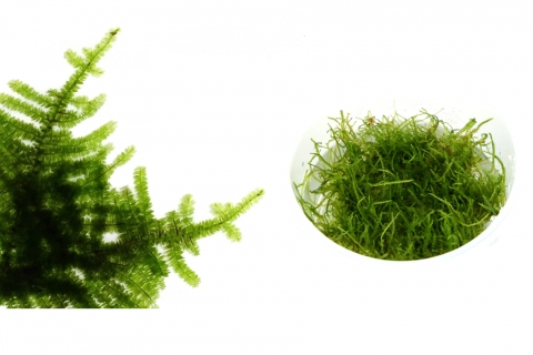 Photo of Vesicularia Dubyana 'Christmas Moss' aquarium moss